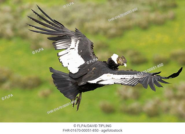 Andean Condor Vultur gryphus adult male, in flight, Patagonia, Chile, november