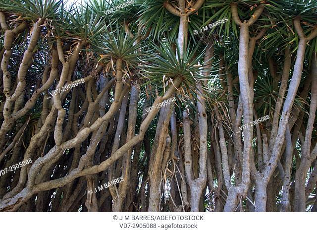 Drago or Canary Islands dragon tree (Dracaena draco) is a tree-like plant native of Macaronesia Region. Las Tricias, Garafia, La Palma Island, Canary Islands