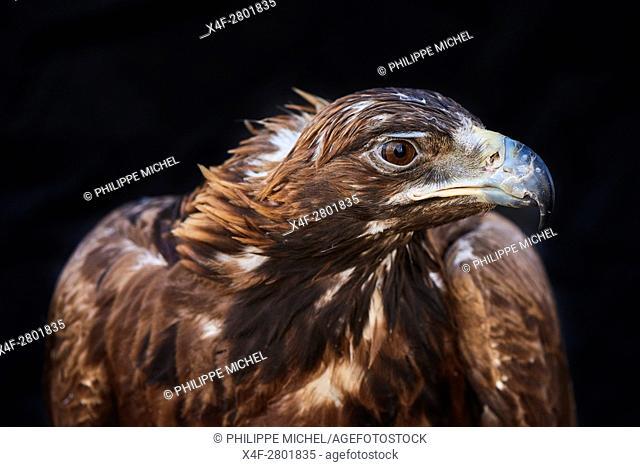 Mongolia, Bayan-Olgii province, Golden eagle