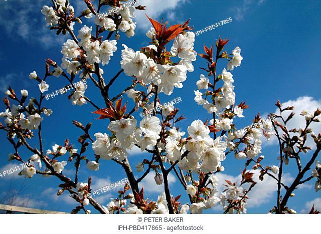 Spring Blossom, Great White Cherry Prunus Tai Haku, in the Dorset village of Crossways