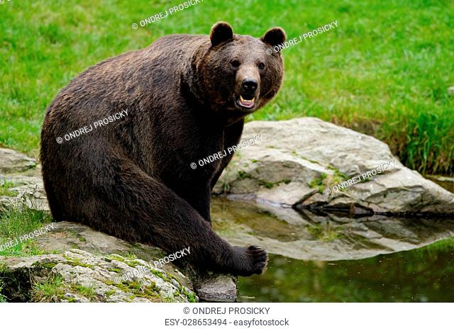 Brown bear, Ursus arctos, sitting on the stone