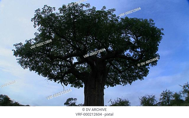 Time laspse shot of clouds moving over a majestic baobab tree in Tarangire Park, Tanzania