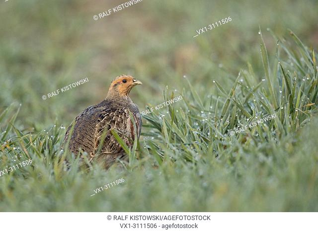 Grey Partridge / Rebhuhn ( Perdix perdix ) sitting in a dew wet field of winter wheat, early morning light, endangered by intensive farming