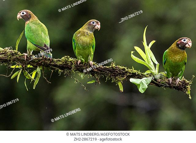 Three Brown-hooded parrot, Pyrilia haematotis, sitting in a tree at Laguna del Lagarto, Boca Tapada, San Carlos, Costa Rica