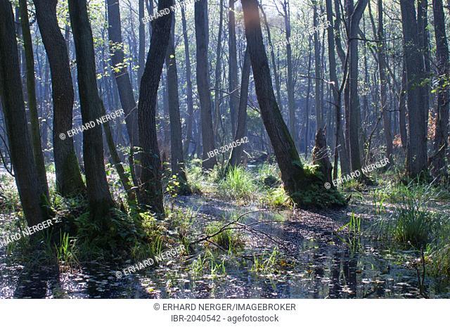 Marshland forest with alder trees (Alnus glutinosa), Darss, Mecklenburg-Western Pomerania, Germany, Europe