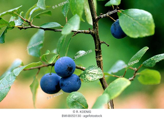 blackthorn, sloe (Prunus spinosa), branch with ripe fruits, Germany