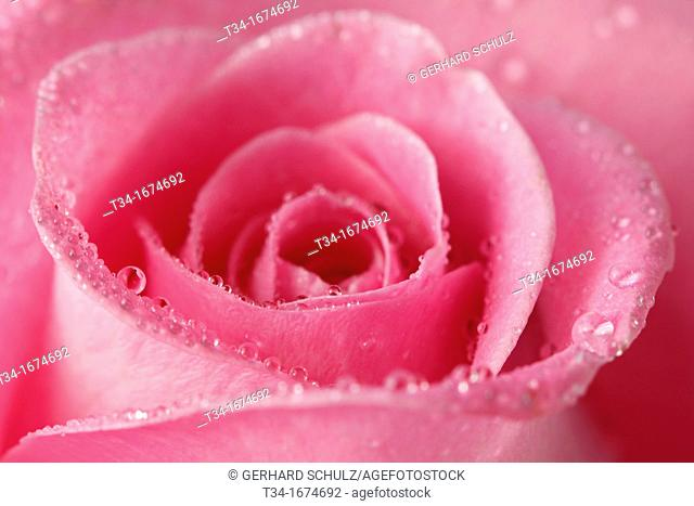 Rose, Rosaceae, Hamburg, Germany