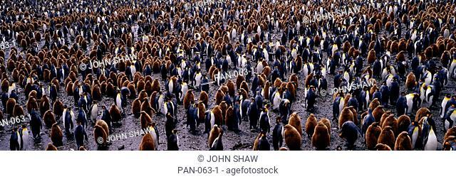 King Penguin Colony, Salisbury Plain, South Georgia, Sub-Antarctic