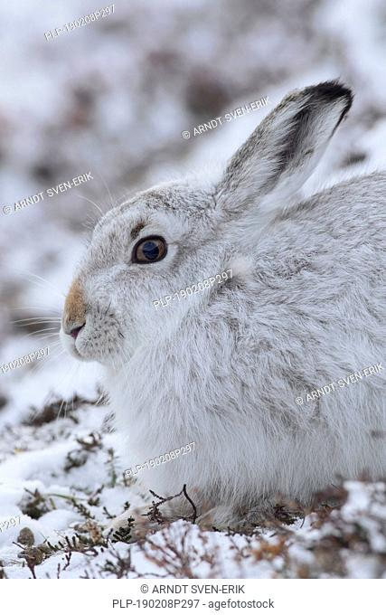 Close-up portrait of mountain hare / Alpine hare / snow hare (Lepus timidus) in white winter pelage sitting in the snow, Cairngorms NP, Scotland, UK