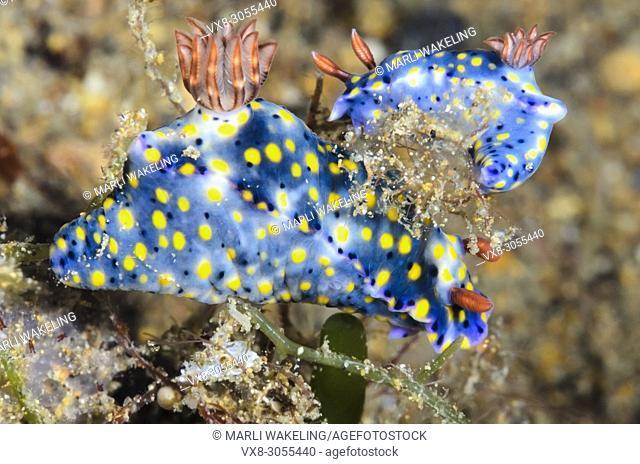 sea slug or nudibranch, Hypselodoris roo , Anilao, Batangas, Philippines, Pacific