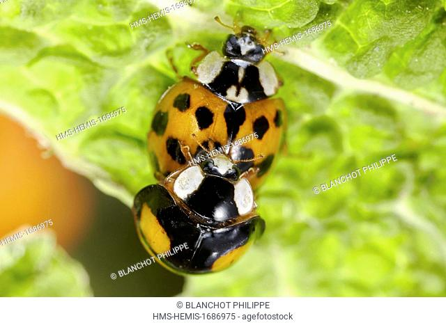 France, Coleoptera, Coccinellidae, Harlequin ladybird, Multicolored Asian lady beetle or Halloween lady beetle (Harmonia axyridis), mating