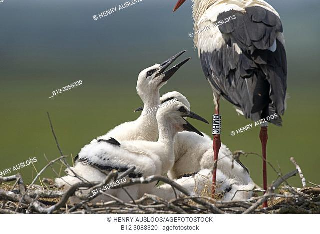 White stork, young, asking some to eat (Ciconia ciconia), France
