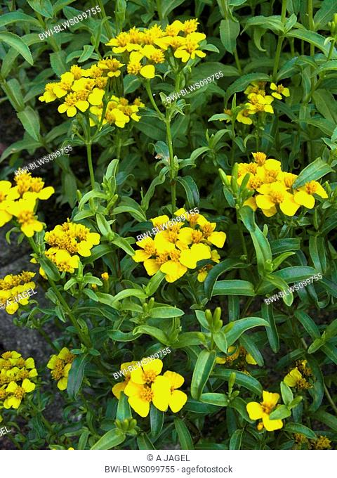 Mexican mint marigold, Spanish tarragon, wild tarragon Tagetes lucida, blooming