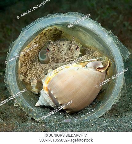Coconut octopus, veined octopus (Amphioctopus marginatus), having withdrawn with a captured marine gastroped into a plasic cup hide-out