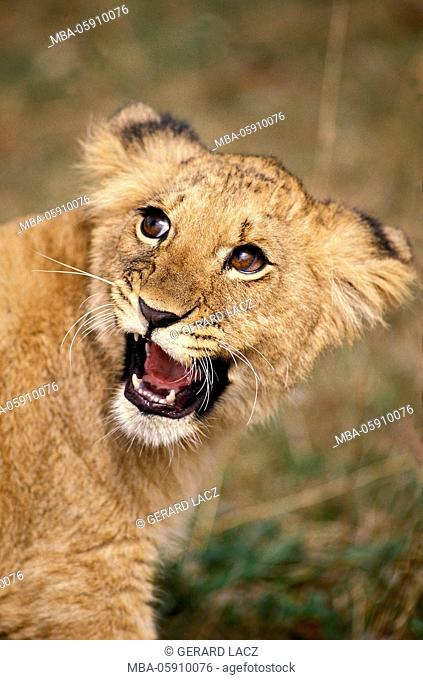 African Lion, panthera leo, Cub Snarling