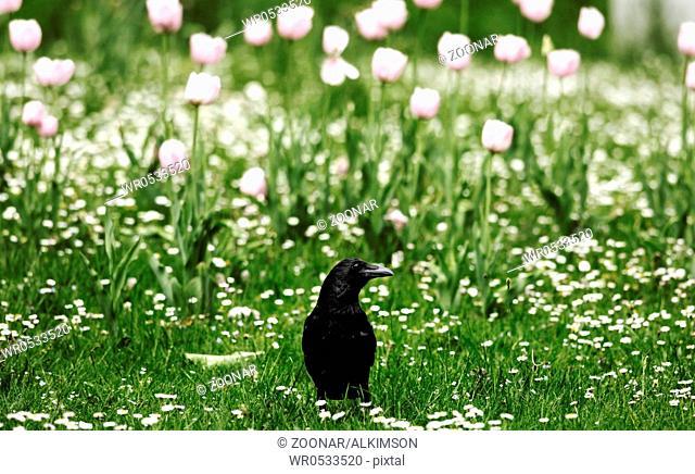 Rabe auf Wiese mit Gänseblumchen und Tulpen