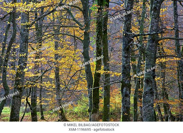 Beechwood in autumn  Monte Santiago Natural Monument  Las Merindades County  Burgos, Castile and Leon, Spain, Europe