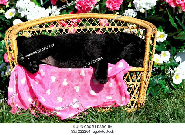 Labrador Retriever. Black puppy (5 weeks old) sleeping on a small wicker bench. Germany