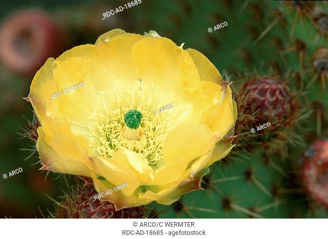 Cactus blossom Majorca Balearic Islands Spain Opuntia ficus-indica