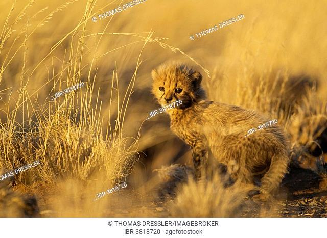 Cheetah (Acinonyx jubatus), male cub, 39 days, in evening light, captive, Namibia