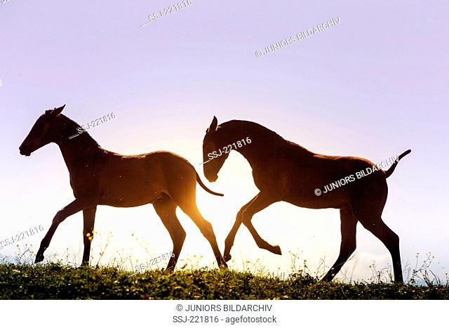 Pure Spanish Horse, Andalusian. Mare and faol in backlight. Germany