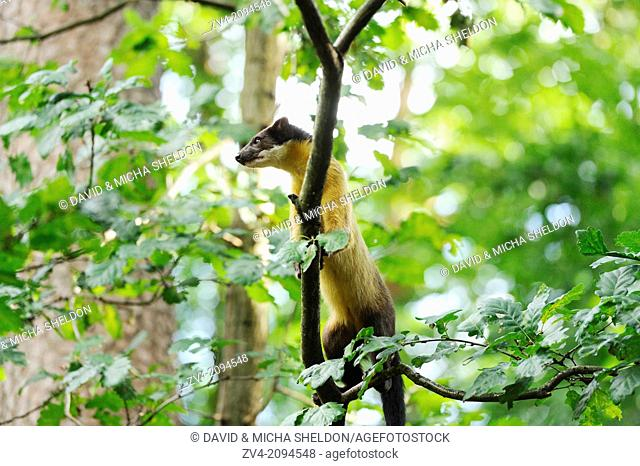 Close-up of a yellow-throated marten or kharza (Martes flavigula) on a tree trunk