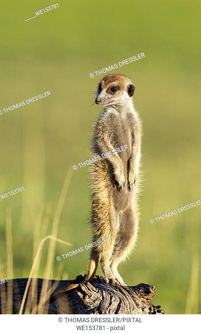 Suricate (Suricata suricatta). Also called Meerkat. Guard on the lookout. During the rainy season in green surroundings. Kalahari Desert