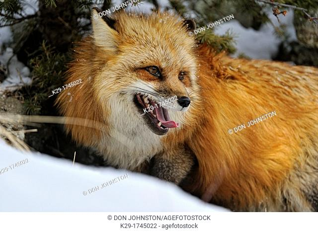 Red fox (Vulpes vulpes), Bozeman, Montana, USA