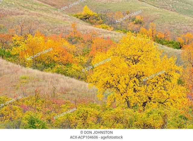 Autumn foliage on the slopes of the Qu'Appelle River Valley, Qu'Appelle Valley, Saskatchewan, Canada