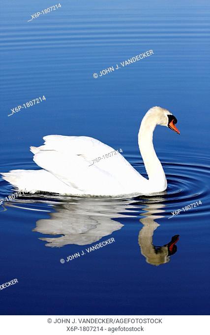Mute Swan with reflection in blue water  Richard DeKorte Park, Lyndhurst, NJ, USA