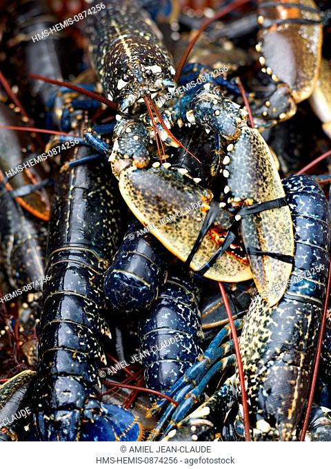 France, Bretagne, feature : the racy Bretagne of Olivier Roellinger, wild blue lobster from Brittany
