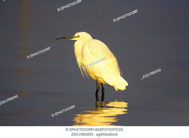 Little Egret, Egretta garzetta, Chambal River, Rajasthan, India
