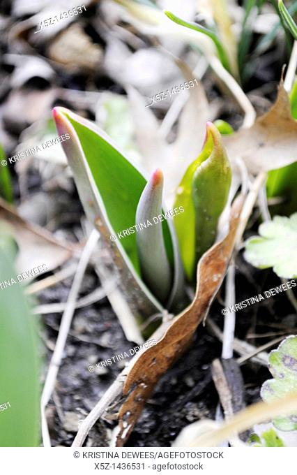 Pink tipped tulip leaves emerging in Spring
