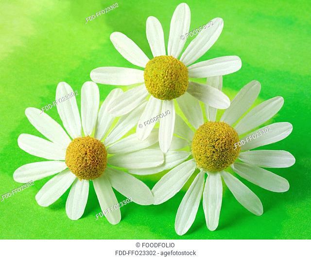 Three Chamomile Flowers On Green
