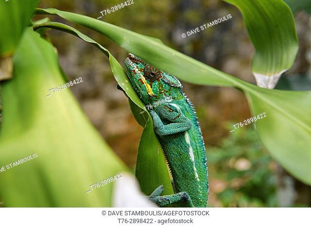Colourful Panther chameleon (Furcifer pardalis), Andasibe-Mantadia National Park, Madagascar