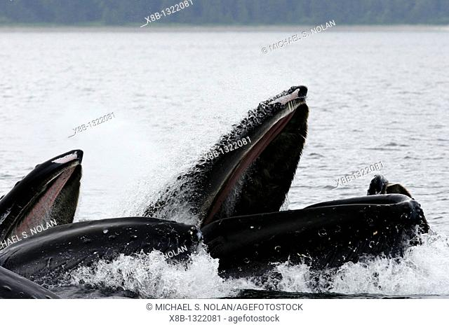 Close up view of adult humpback whales Megaptera novaeangliae cooperatively bubble-net feeding near Freshwater Bay on Chichagof Island in Southeast Alaska