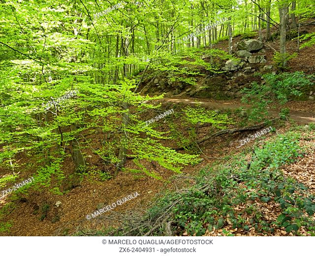 Beech forest dirt road. (Fagus sylvatica). Montseny Natural Park. Barcelona province, Catalonia, Spain