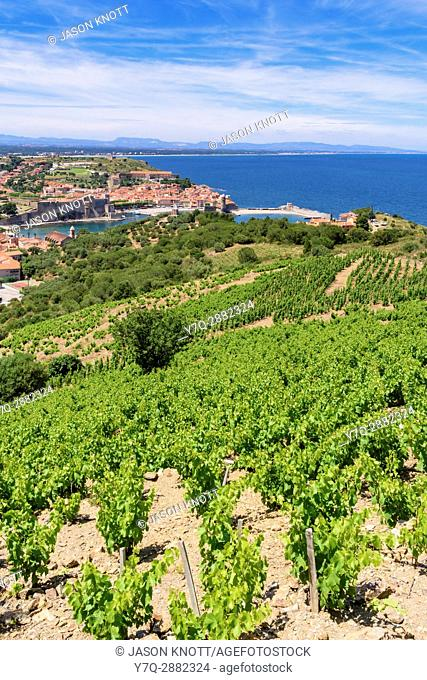 Vineyard grape vines overlooking the town of Collioure, Côte Vermeille, Céret, Pyrénées-Orientales, Occitanie, France