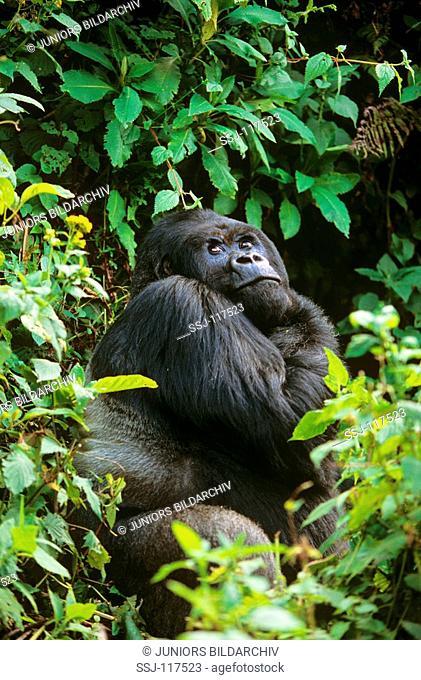 mountain gorilla - male  silverback  / Gorilla gorilla beringei
