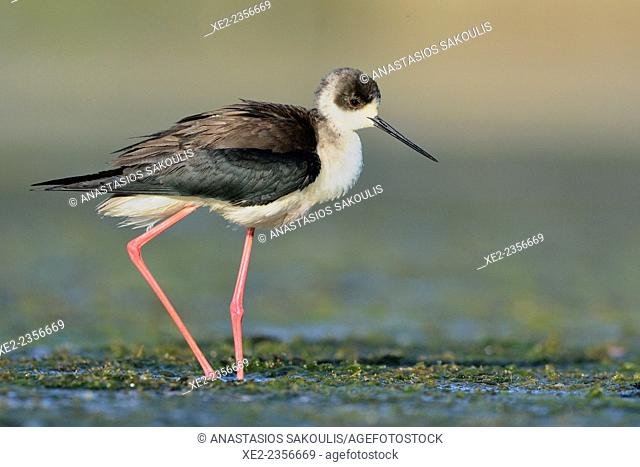 Black-winged Stilt - Himantopus himantopus at the shore of Agia lake, Crete, Greece