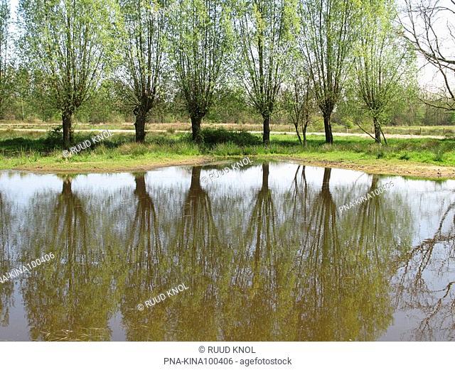 Willow Salix - Beekbergerwoud, Apeldoorn, Veluwe, Guelders, The Netherlands, Holland, Europe