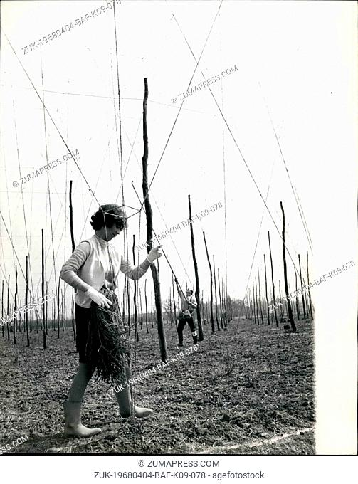 Apr. 04, 1968 - Hop Stringing Competition: Hop stringers, the name given to men and women who every year weave the vast 'spider's web' of cord yarn-some 300