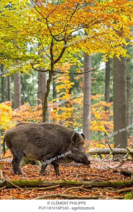 Wild boar (Sus scrofa) big male foraging in autumn forest during the hunting season in the Ardennes