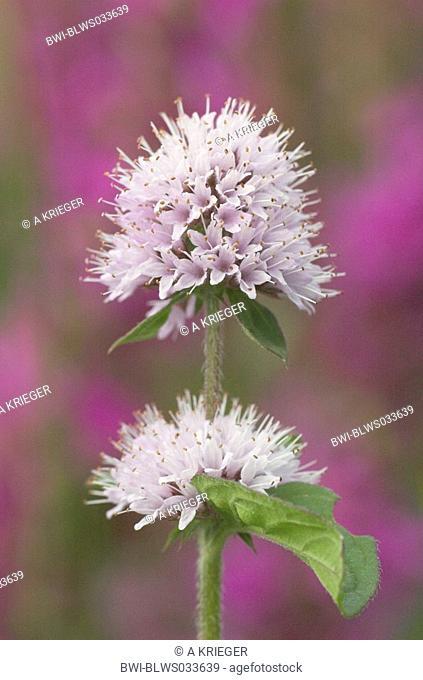 wild water mint Mentha aquatica, inflorescence, France