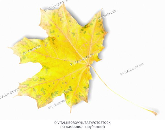 Yellow Autumn Maple Leaf With Green Spots Isolated On White Background