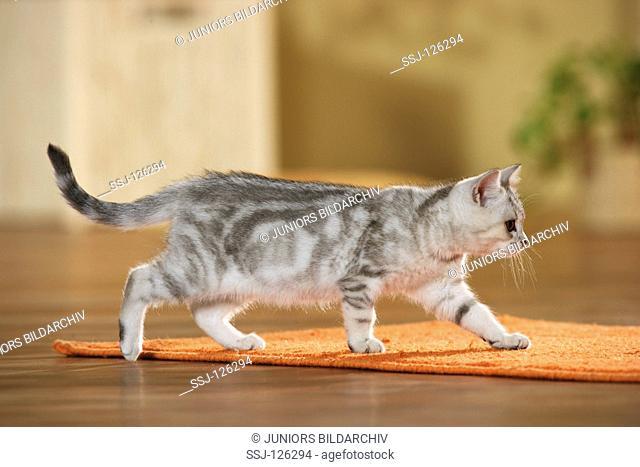 British Shorthair kitten - walking restrictions:Tierratgeber-Bücher / animal guidebooks