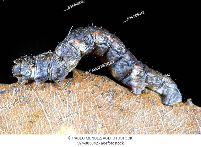 Caterpillar, Fragas do Eume Natural Park, La Coruña province, Galicia, Spain