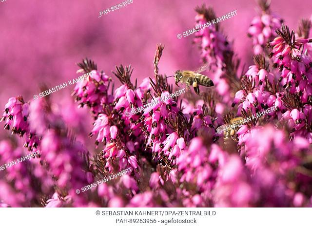 A bee flies above a garden with blossoming winter heath at the 'Findlingspark Nochten' (lit. 'Boulder Park')in Nochten, Germany, 15 March 2017