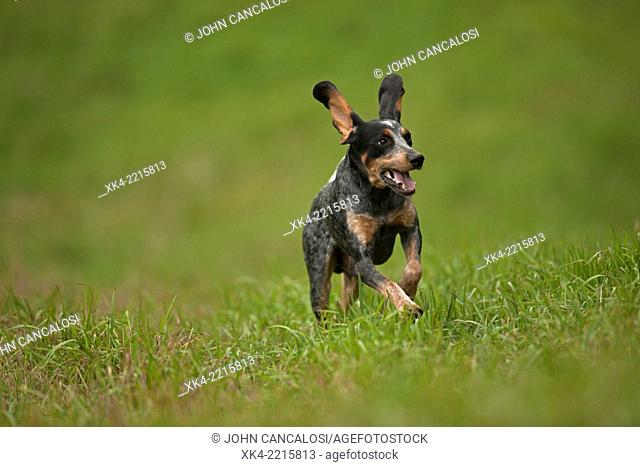 Blue tick, hound, hunting dog, Pennsylvania, USA