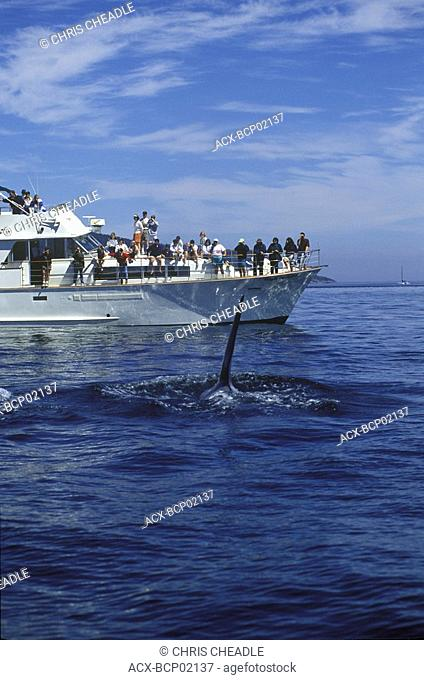 Killer whale swims toward whale watch boat, Vancouver Island, British Columbia, Canada